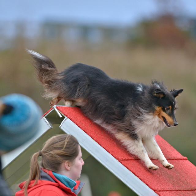 """""""dog on a dogwalk"""" stock image"""
