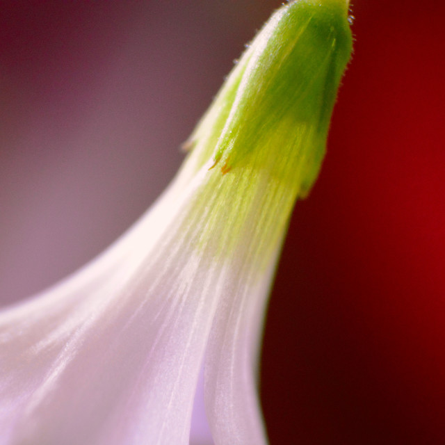 """Oxalis Flower - Super Macro"" stock image"