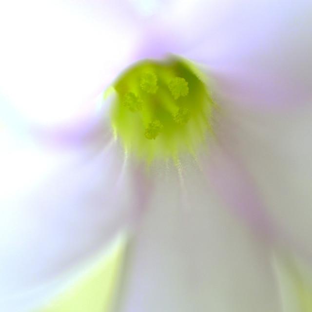 """Oxalis Flower Stamen - Extreme Close Up"" stock image"