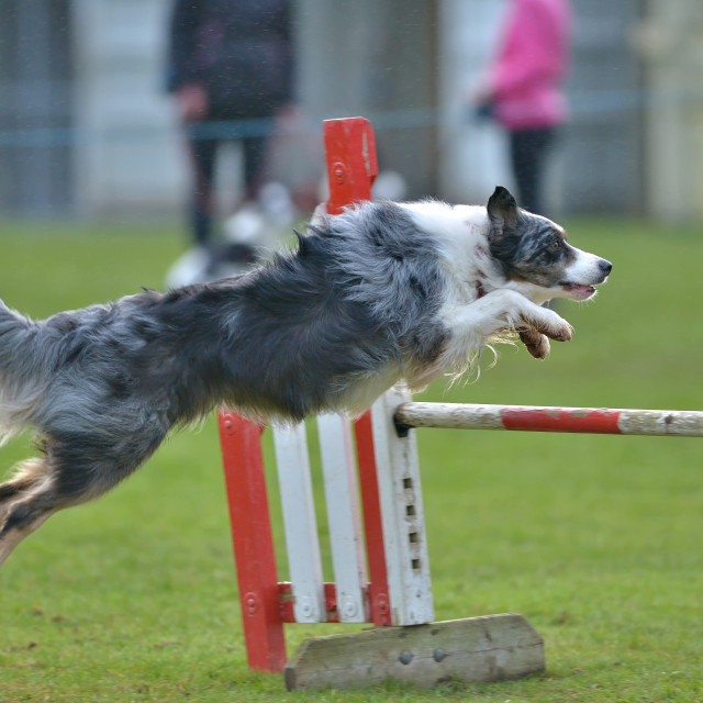 """collie dog jumping"" stock image"