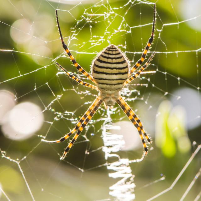 """Banded garden spider, Argiope trifasciata"" stock image"