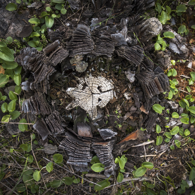 """""""Close-up of a cut of an aged pine tree stump, viewed from directly above."""" stock image"""