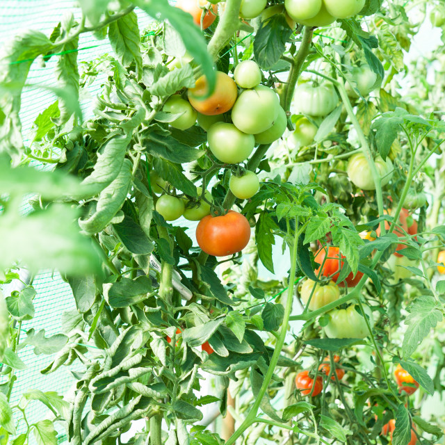 """Organic tomatoes in a greenhouse"" stock image"