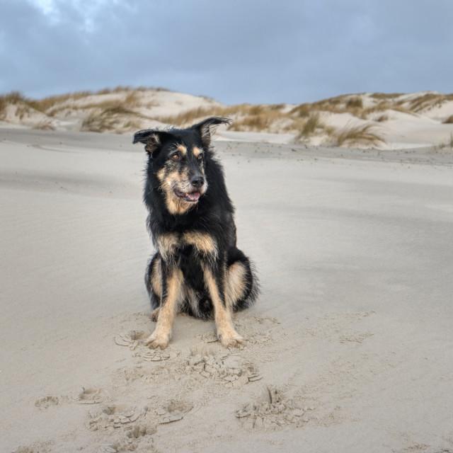 """Dog on the North Frisian Island Amrum in Germany"" stock image"