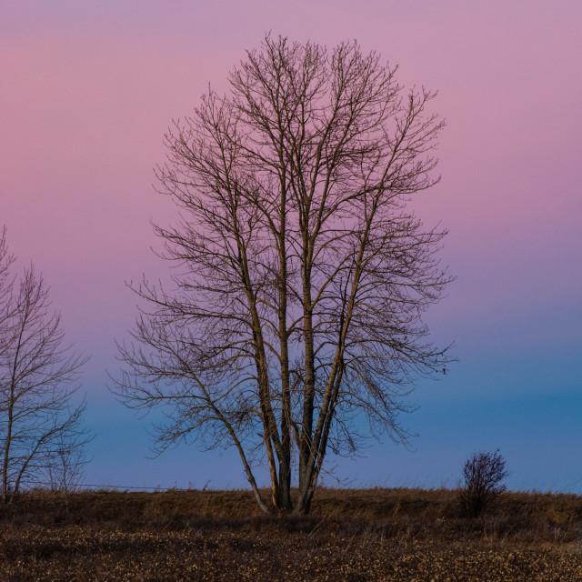 """Trees at dusk"" stock image"