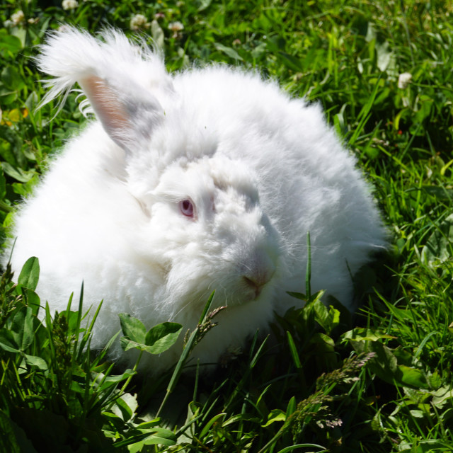 """Angora Rabbit"" stock image"