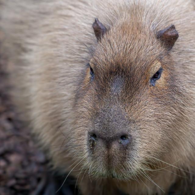 """Solitary Capybara in a Zoo"" stock image"