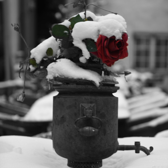 """rose in the snow"" stock image"