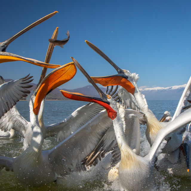 """Dalmatian pelican - Pelecanus crispus"" stock image"