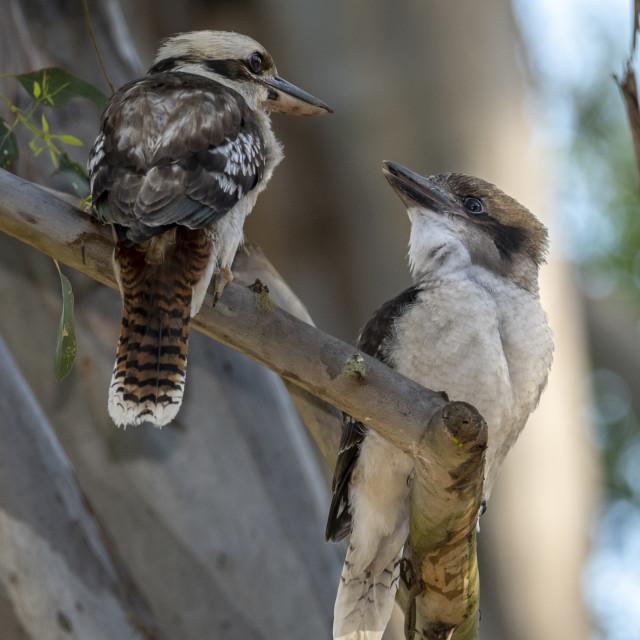"""Kookaburra Meeting"" stock image"