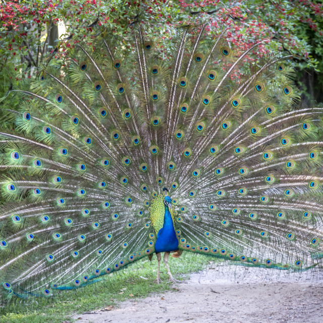 """Peacock on Show"" stock image"