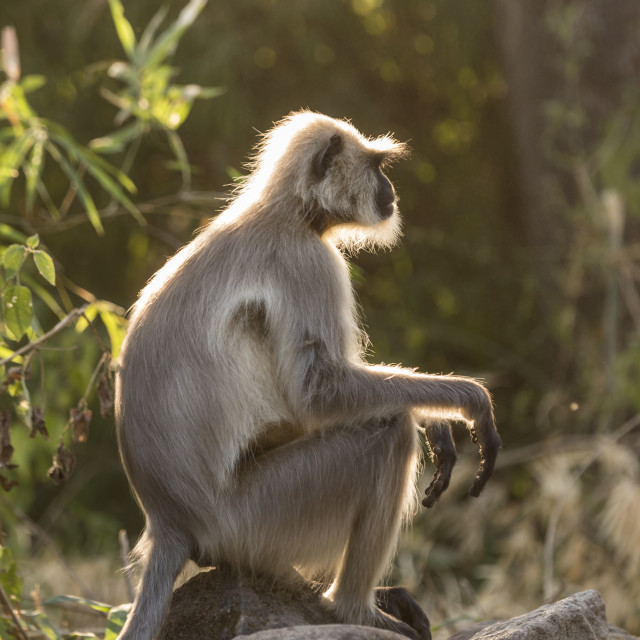 """A portrait of a gray langur monkey"" stock image"