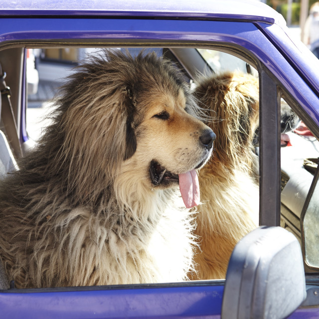 """""""Two Large Dogs Sitting In Front Seat Of Pick Up Truck"""" stock image"""