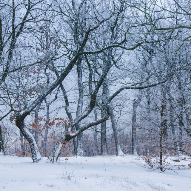 """Beautiful WInter Forest"" stock image"