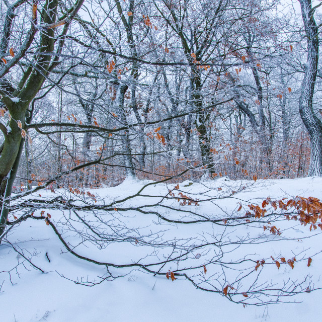 """Pure Winter In The Forest"" stock image"