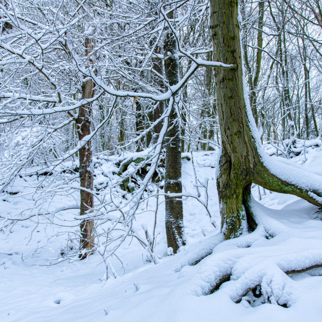"""Tree Ensemble In Snow Covered Forest"" stock image"