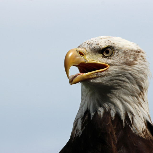 """""""Head and shoulders of a sub-adult American bald eagle"""" stock image"""