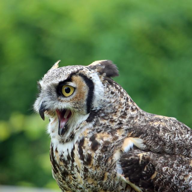 """Great horned owl with open beak"" stock image"