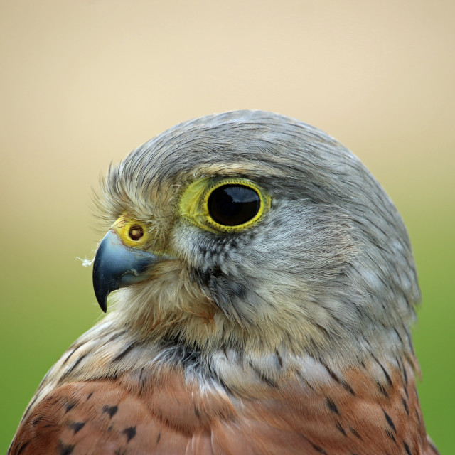 """""""Head and shoulders of a kestrel"""" stock image"""