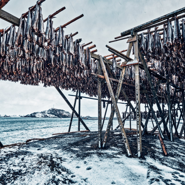 """""""Drying flakes for stockfish cod fish in winter. Lofoten islands,"""" stock image"""