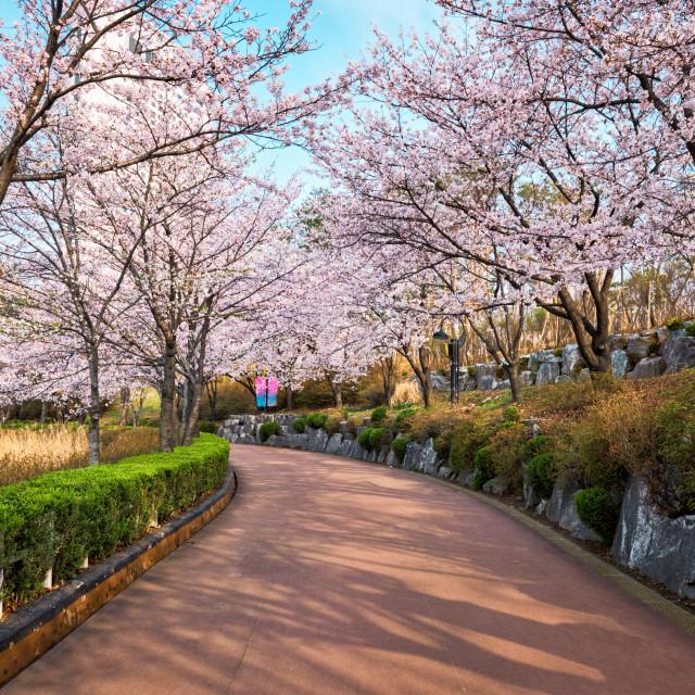 """Blooming sakura cherry blossom alley in park"" stock image"