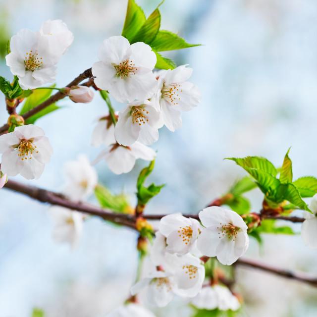 """""""Blooming sakura cherry blossom"""" stock image"""