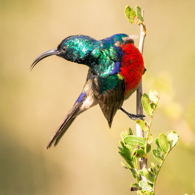 """sunbird on a plant"" stock image"