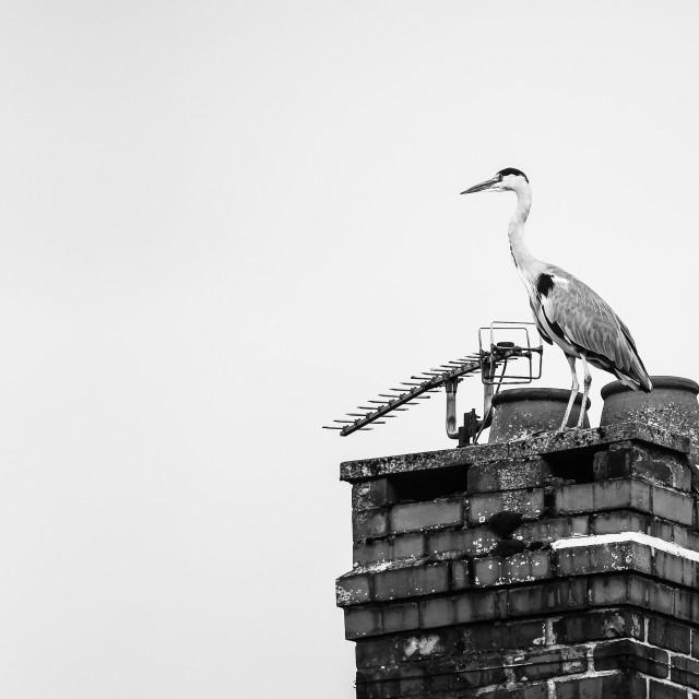"""Chimney Heron"" stock image"