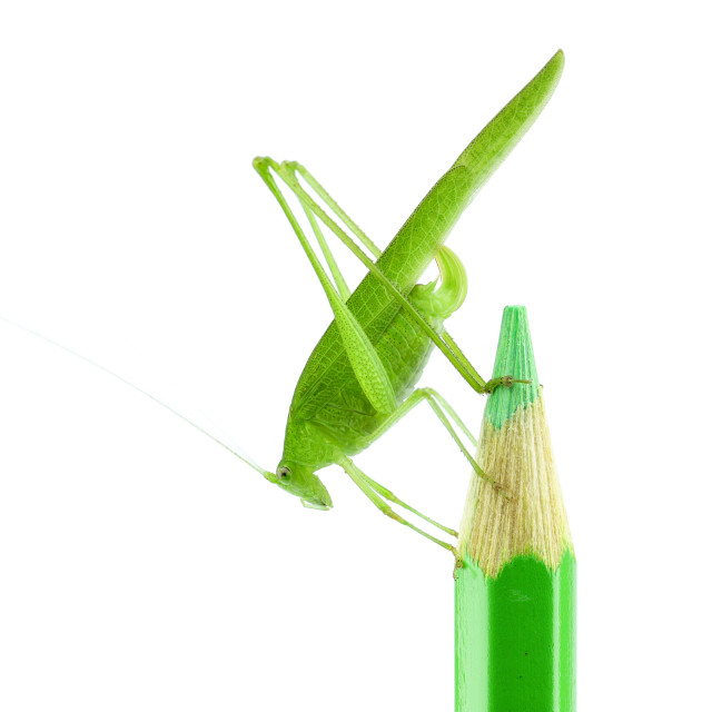 """The Katydids (Tettigoniidae) in the Green Pencil"" stock image"