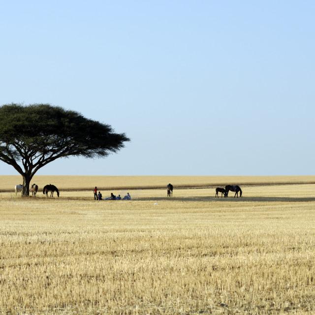 """acacia tree"" stock image"