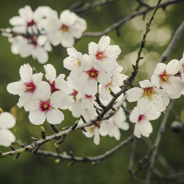 """almond blossom"" stock image"