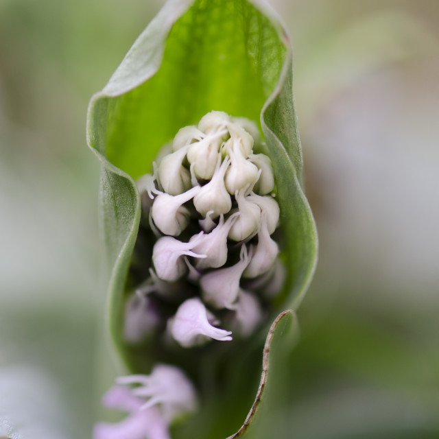 """""""Conical orchid, Orchis conica, wild orchid in Andalusia, Southern Spain"""" stock image"""