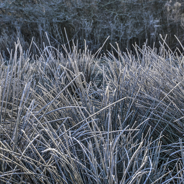 """Frost covered tall grass"" stock image"