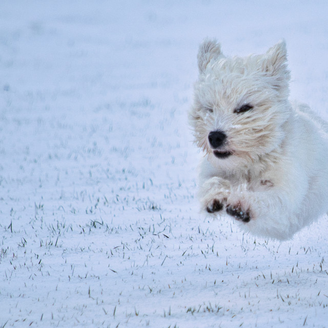 """Westie in Snow"" stock image"