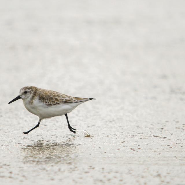 """""""Sanderling, Calidris alba, at the beach."""" stock image"""