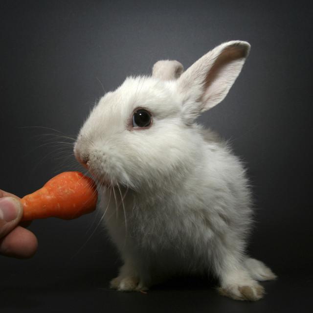 """white rabbit"" stock image"