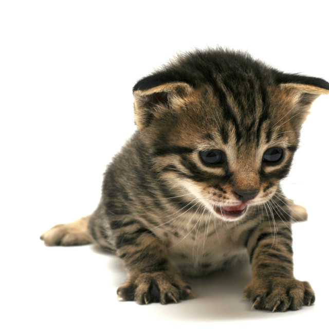 """curious kitten"" stock image"