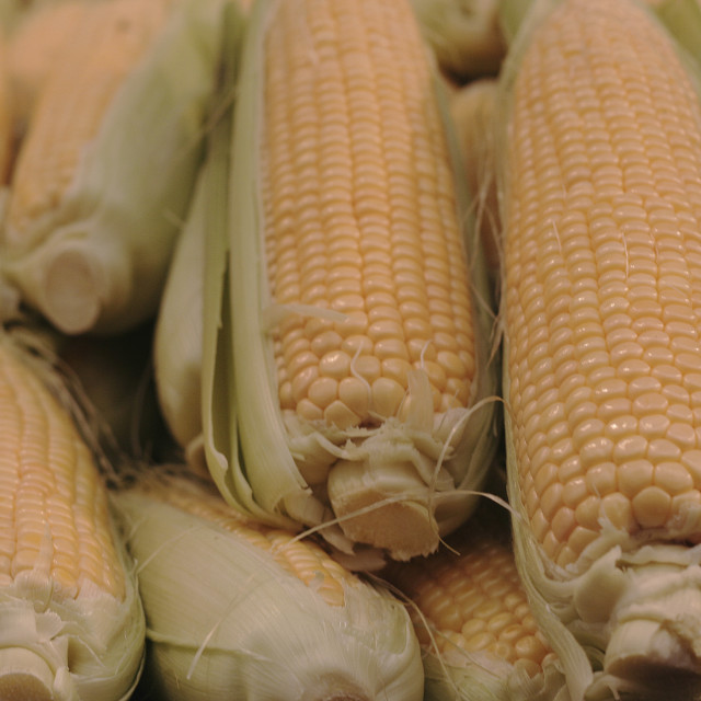 """""""Yellow corn cobs with husks"""" stock image"""