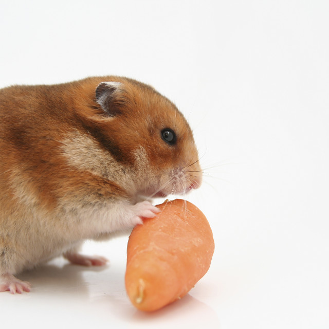 """""""curious hamster"""" stock image"""