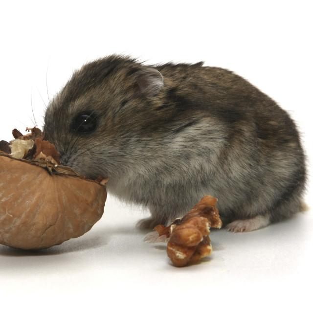 """Hamster"" stock image"