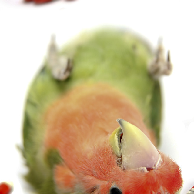 """""""Cutout of a dead parrot on white background medical drugs are in view concept of overdose"""" stock image"""