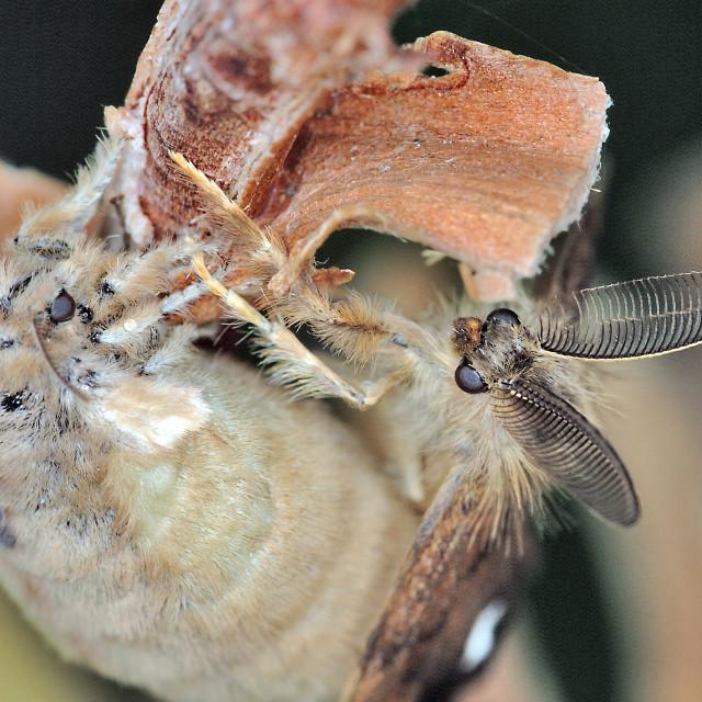 """Vapourer moth (Orgyia antiqua) mating"" stock image"
