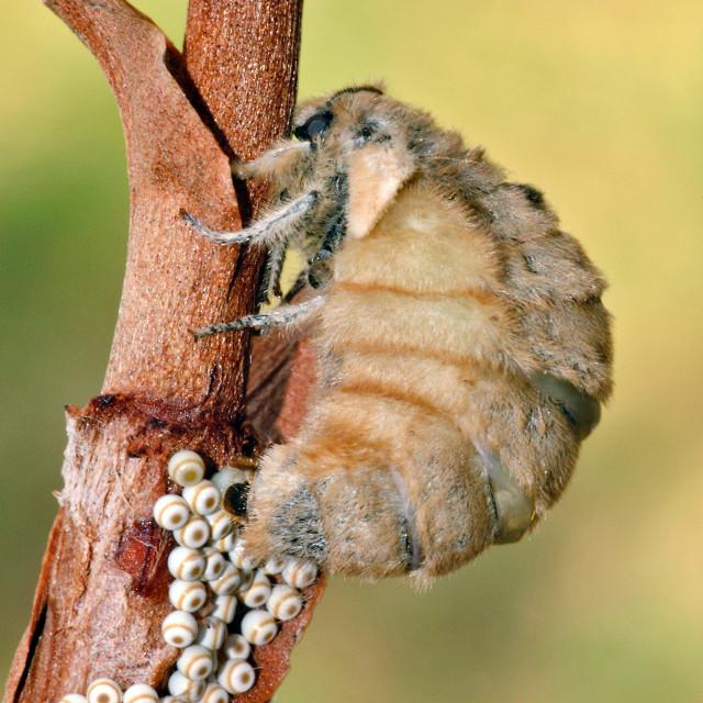 """Vapourer moth (Orgyia antiqua) laying eggs."" stock image"