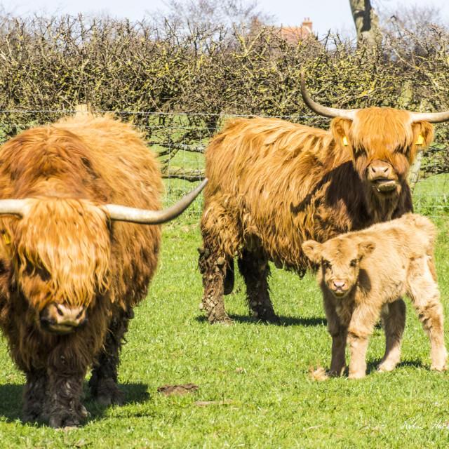 """Highland Cattle Family."" stock image"
