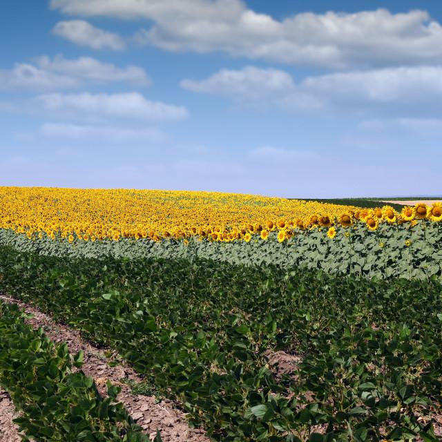 """soybean and sunflower field landscape summer season"" stock image"