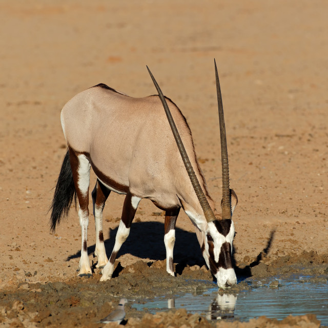 """Gemsbok antelope drinking water"" stock image"