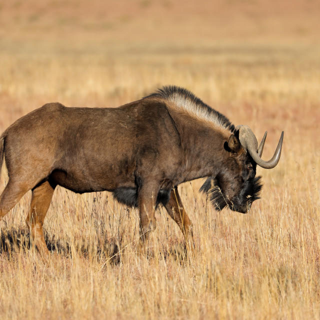 """A black wildebeest (Connochaetes gnou) in open grassland, Mokala National Park, South Africa"" stock image"
