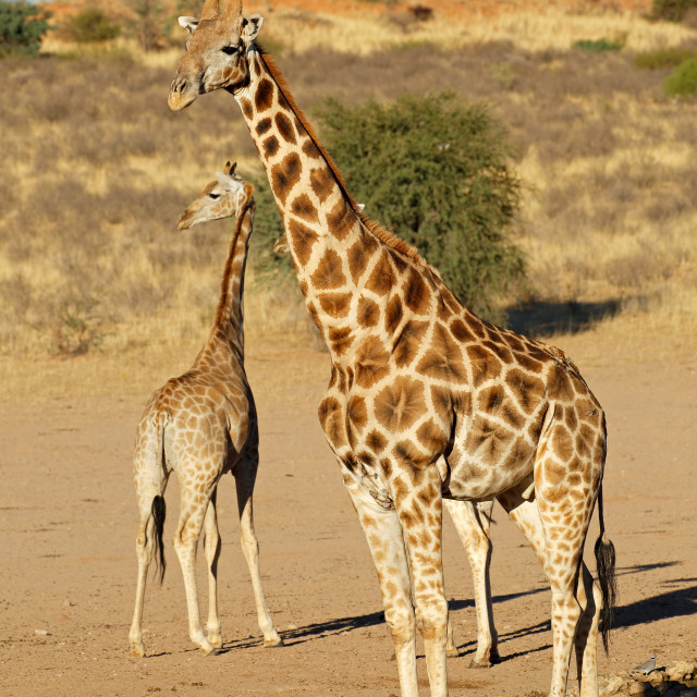 """Giraffes at a waterhole"" stock image"