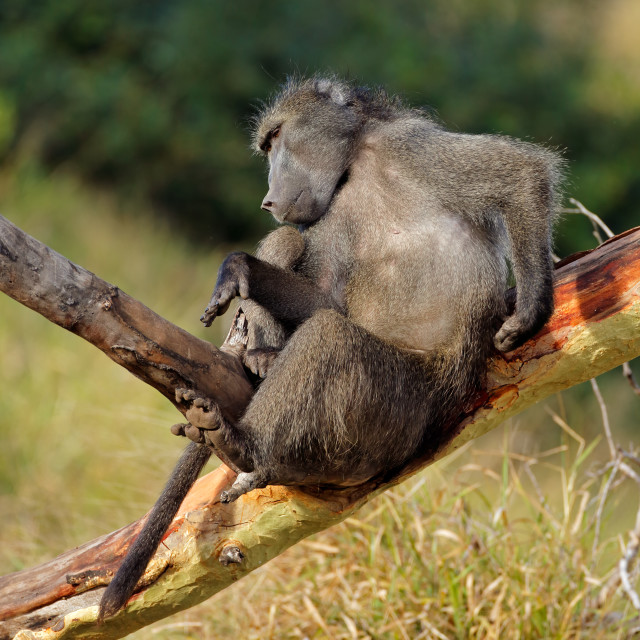 """Male chacma baboon in a tree"" stock image"