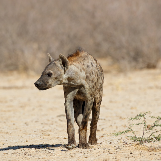 """Spotted hyena in natural habitat"" stock image"